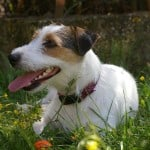 parson-jack-russell