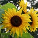 huge-sunflower-image