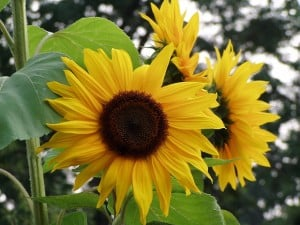huge-sunflower-image