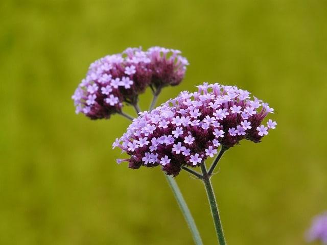 purple-verbena-image