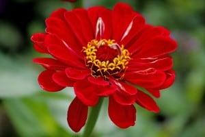 work-at-home-mom-revolution-red-zinnia-image