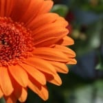 big-orange-gerbera-side-image