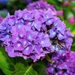 large-deep-purple-hydrangea-image