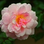 light-pink-rose-yellow-middle-image