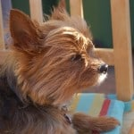 work-from-home-terrier-sun-image