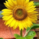 work-from-home-sunflower-image