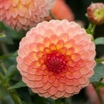 peach-color-dahlias-image