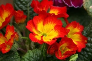 flame-flowers-image