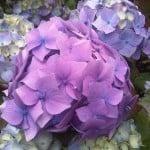 lavender-purple-white-flowers-image