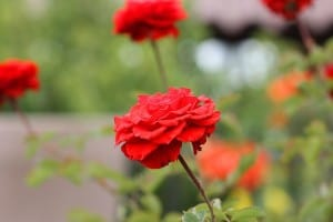 red-orange-rose-garden-image