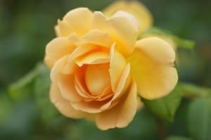 bright-yellow-rose-single-image