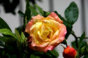 roses-yellow-peach-orange-image