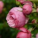 three-side-pink-roses-image
