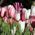 pink-and-white-tulips-field-image